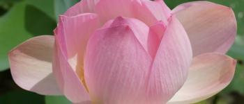 Lotusbloem - Ziekteclassificatie