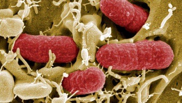 De EHEC-bacterie