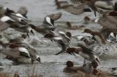Veroorzaken trekvogels vogelgriep?