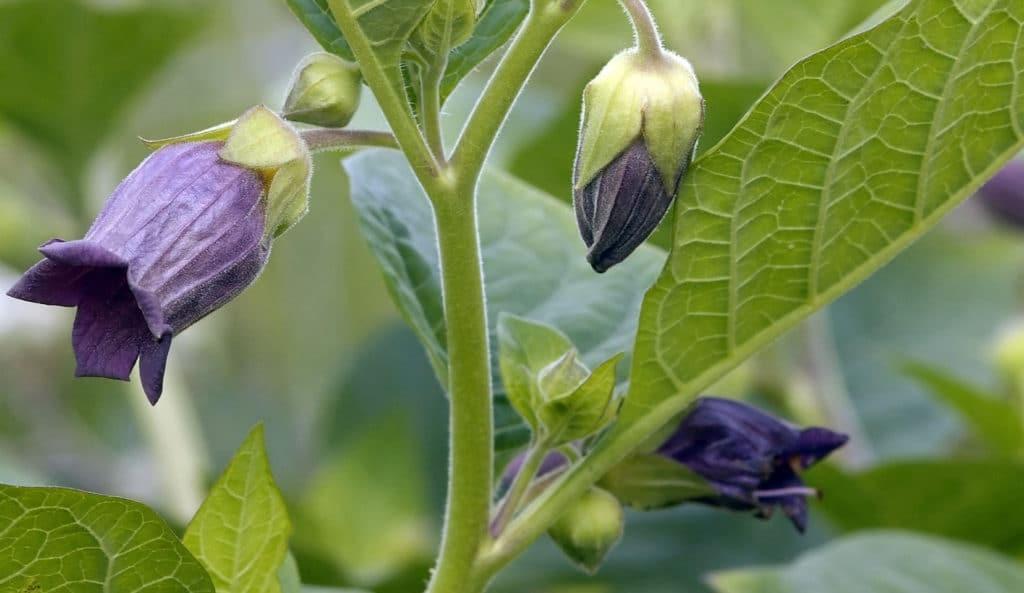 Belladonna plant kopen
