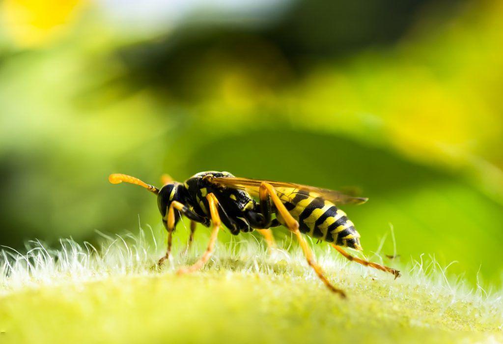 Homeopathie bij een wespensteek
